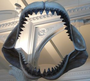 1200px-Megalodon_shark_jaws_museum_of_natural_history_068