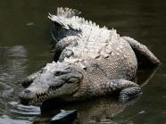 Crocodylus_acutus_mexico_02-edit1