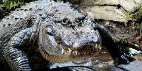 reptile_american-alligator-florida_brian-imparato_600x300