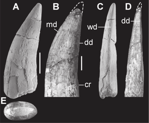 Tooth-crown-of-cf-Theropoda-indet-BR924-A-C-E-and-Dilophosaurus-wetherilli-UCMP-37302.ppm
